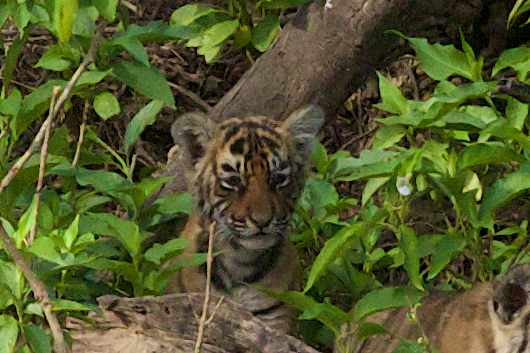 Tiger cub at Ranthambore