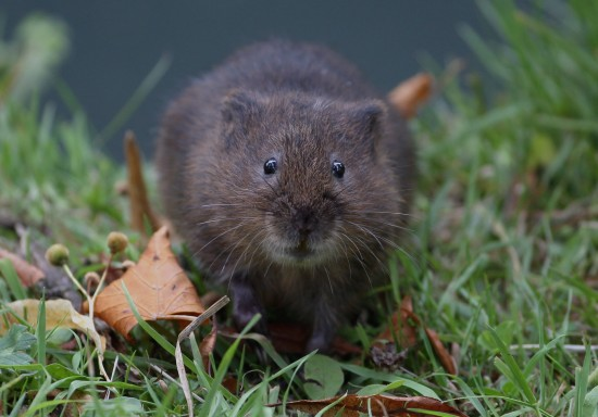 Raty the water vole very relaxed !