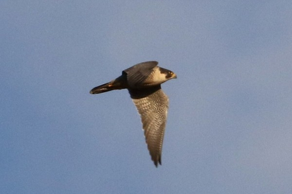 Flying peregrine