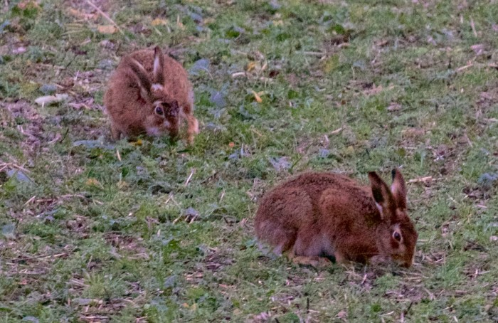 Hares in Sussex!