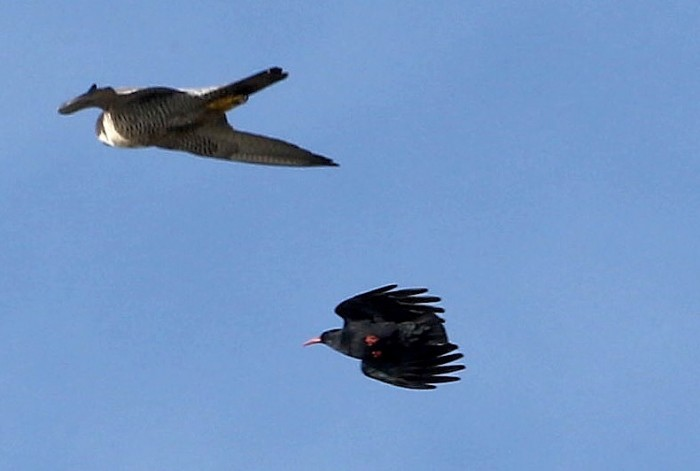 Peregrine and Choughs