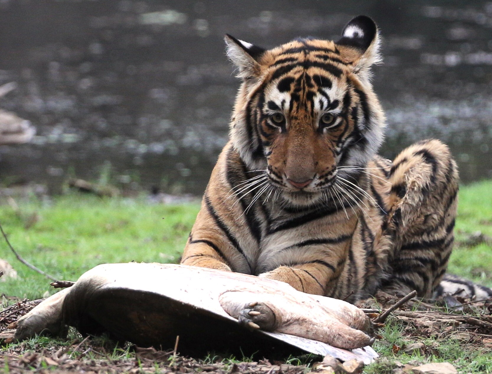 Tiger cub with turtle!