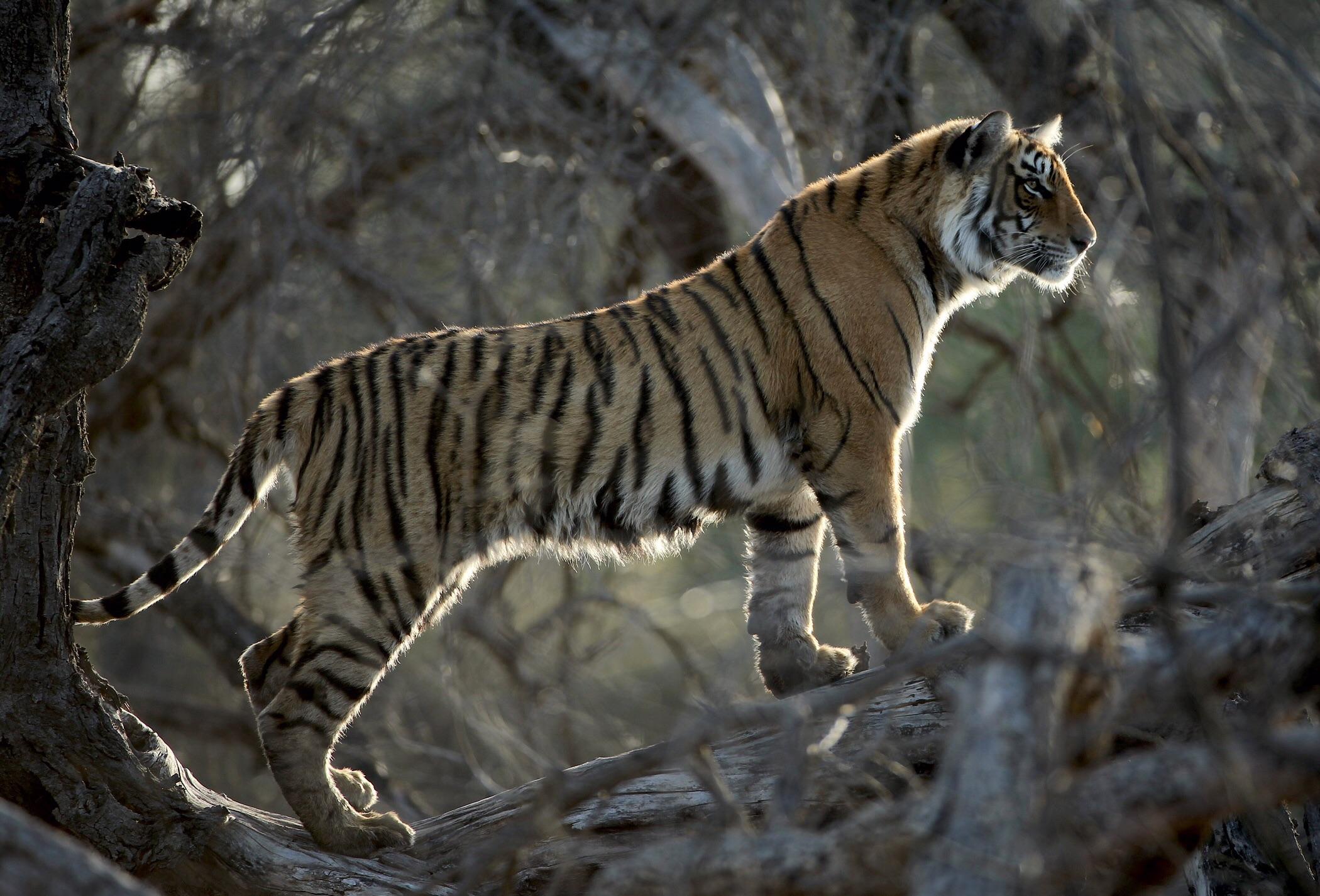 Female cub