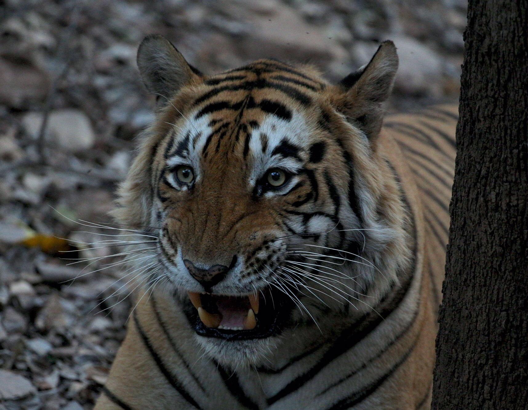 Tiger T28