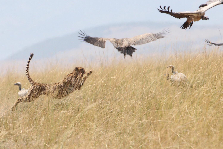 Cheetah chasing Vultures