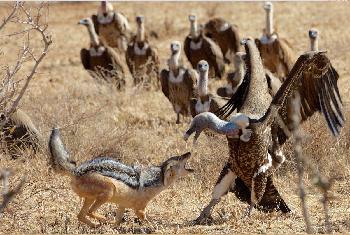 Jacket and Vultures