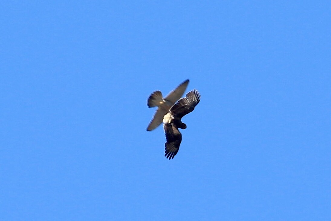 Buzzard and Peregrine