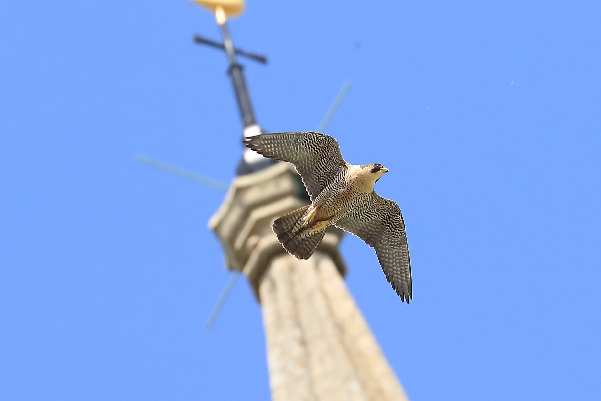 Peregrine and spire!