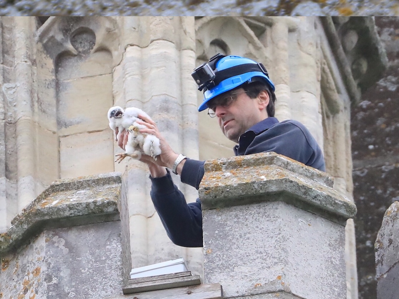 Ringing the chicks at Chichester Cathedral