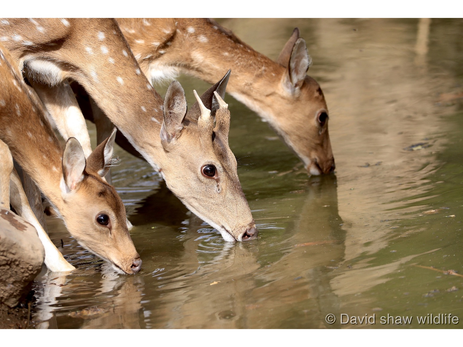 Deer at the water
