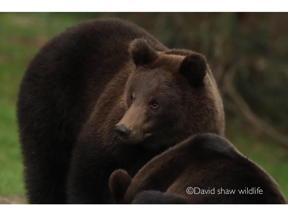 Moody curves of a bear!