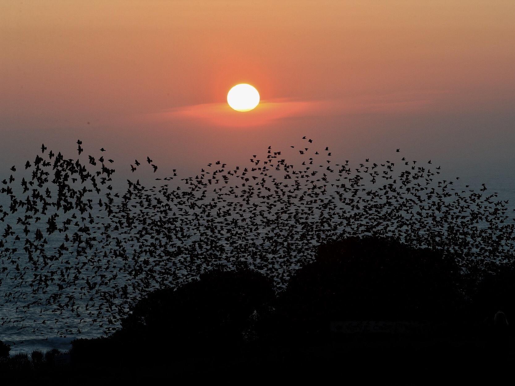 Starlings lizard