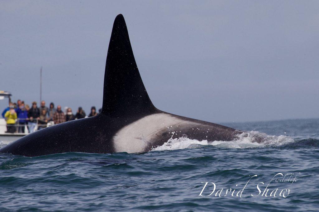 Orcas in California