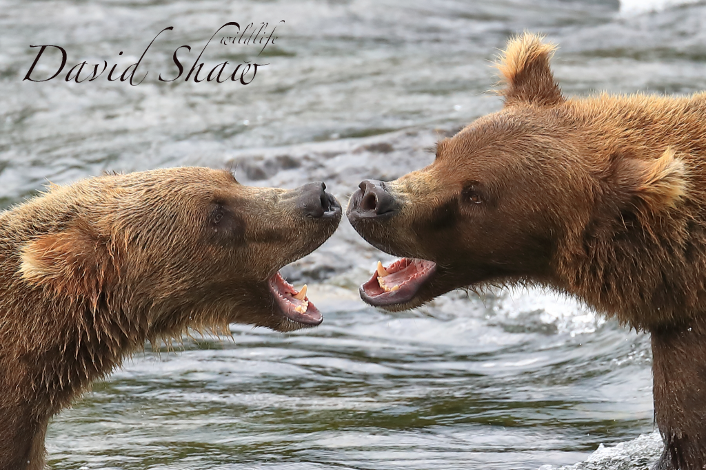 Bears at Brook Falls ALaska